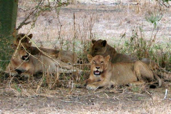 Grupo de leões na Gorongosa