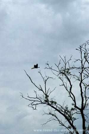 Um tucano voando no centro de Bonito, porta de entrada no Pantanal matogrossense