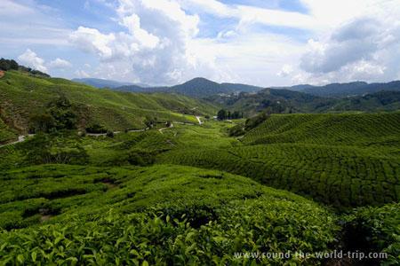 Plantações de chá nas terras altas de Cameron, Malásia