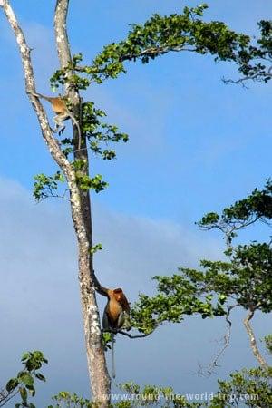 Macacos narigudos em ambiente selvagem, região de Beaufort, Sabah, Bornéu