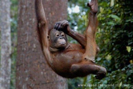 Orangotango órfão no Centro de Reabilitação de Sepilok, Bornéu