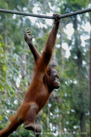 Orangotango no Centro de Reabilitação de Sepilok, Bornéu