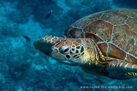 Tartaruga ao largo da ilha de Sipadan, Mabul