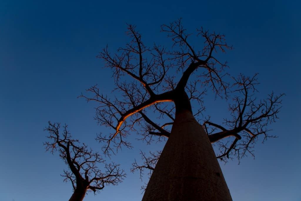Embondeiros (Baobabs)