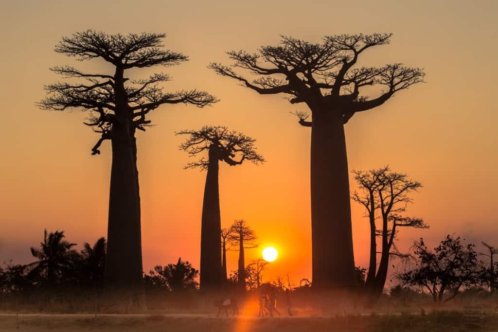 Embondeiros de Madagáscar