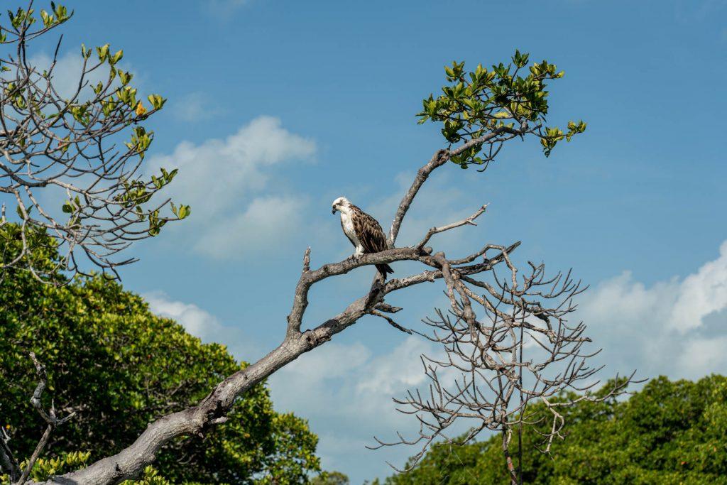Águia pesqueira nos manguezais de Sian Ka'an