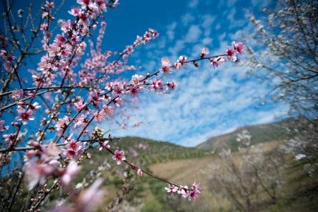 Amendoeiras em flor em Barca d'Alva