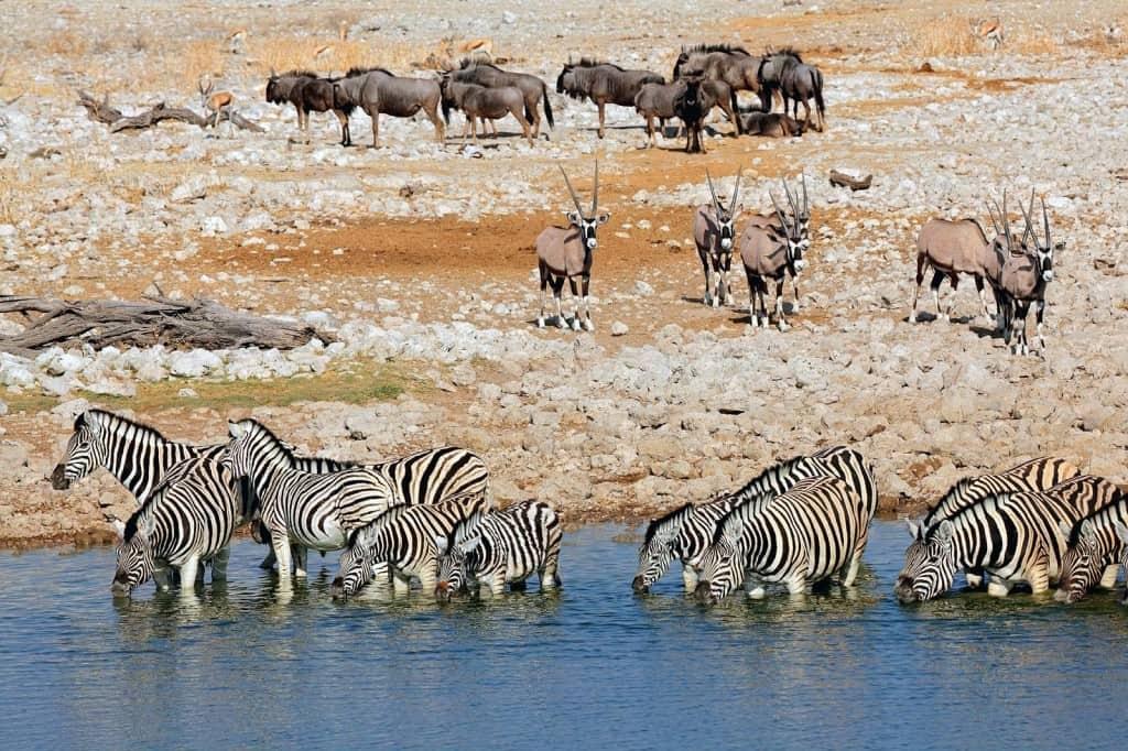 Animais selvagens num safari no Etosha