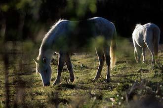 Cavalos brancos de Camarga