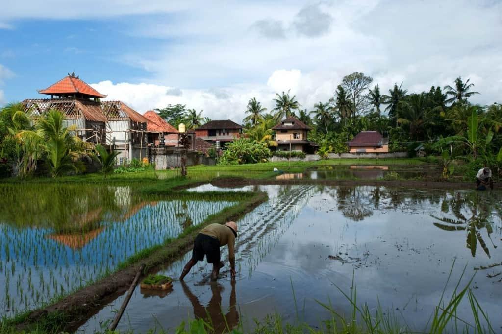 Um homem planta pés de arroz nos arredores de Ubud, Bali