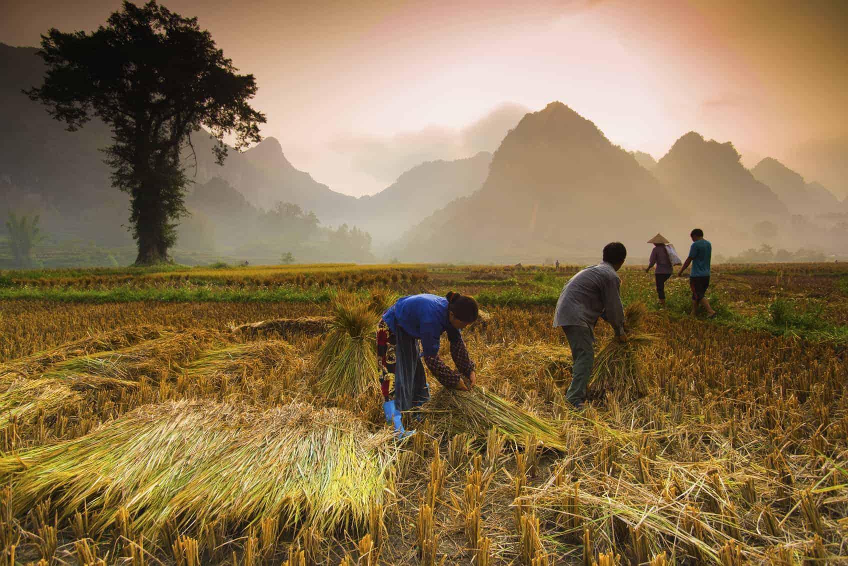 Arrozais, Vietname