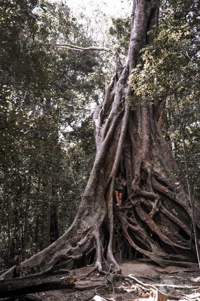 Árvore na floresta de Ritigala