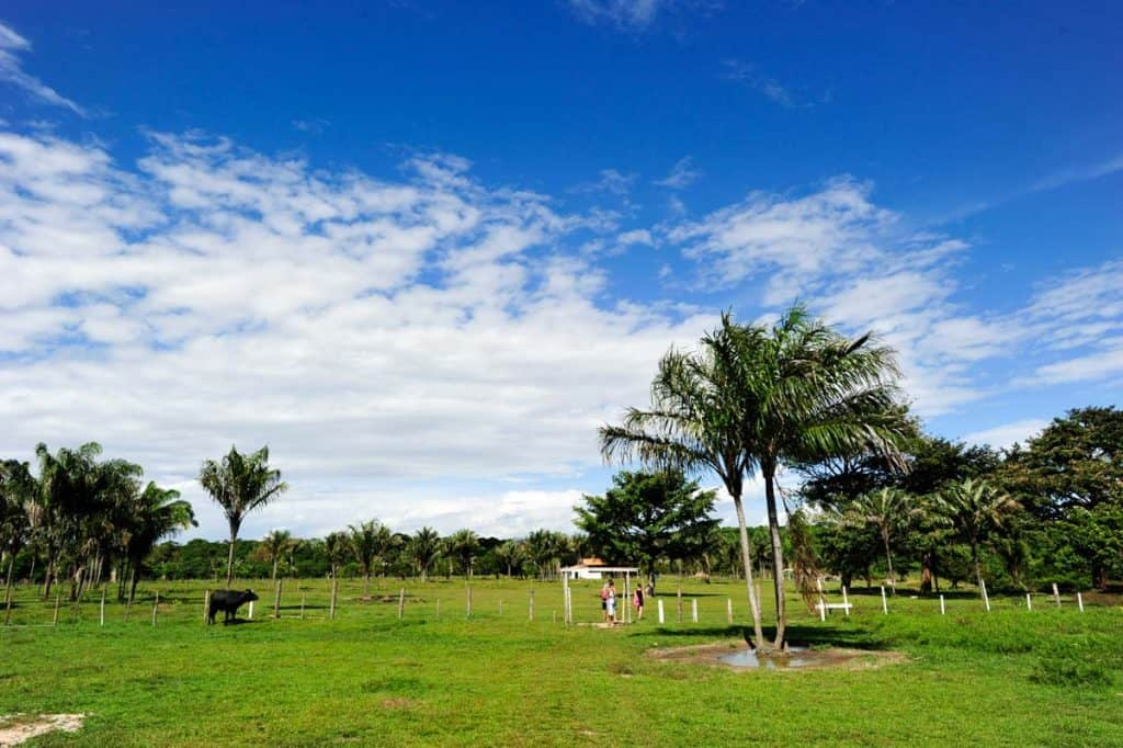 Búfalos Ilha do Marajó