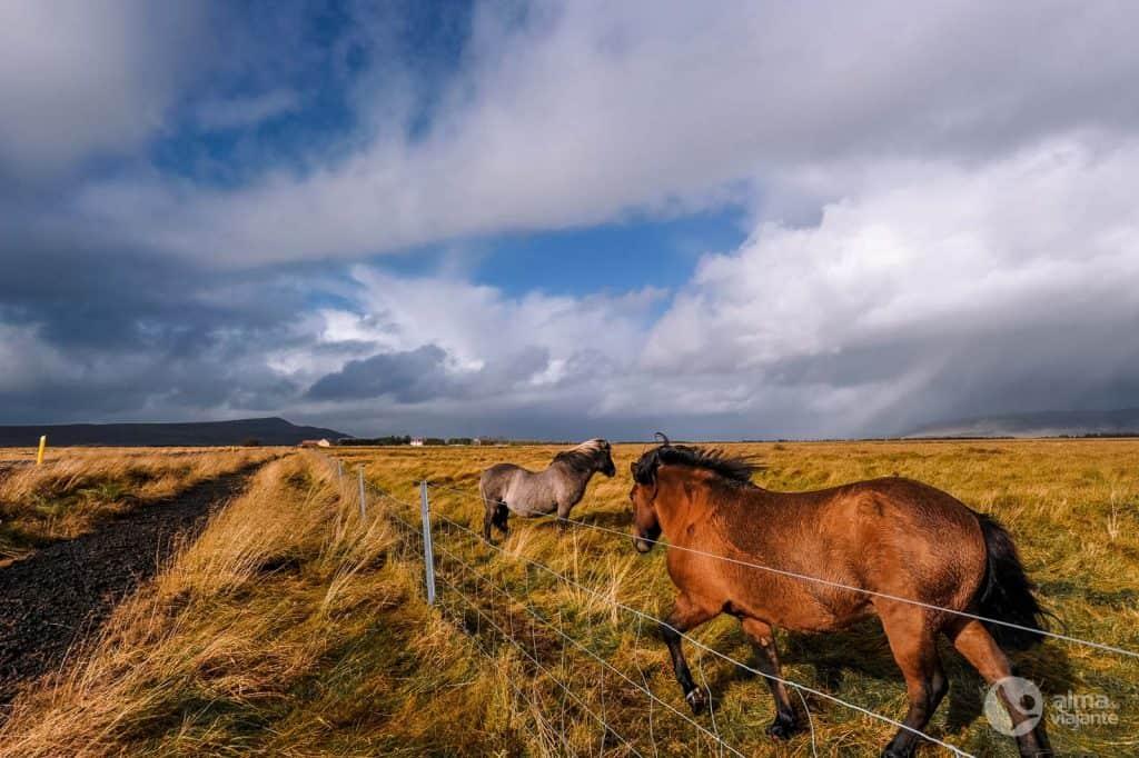 Cavalos na Islândia