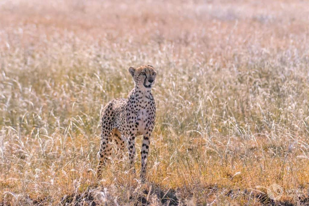 Safari nel Serengeti: ghepardo