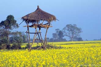Flores de mostarda em Chitwan