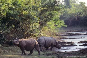 Rinocerontes em Chitwan, Nepal