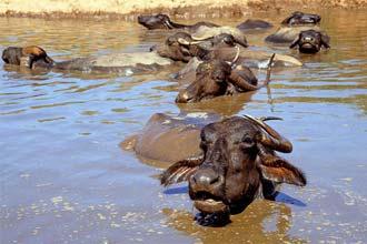 Búfalos, Índia