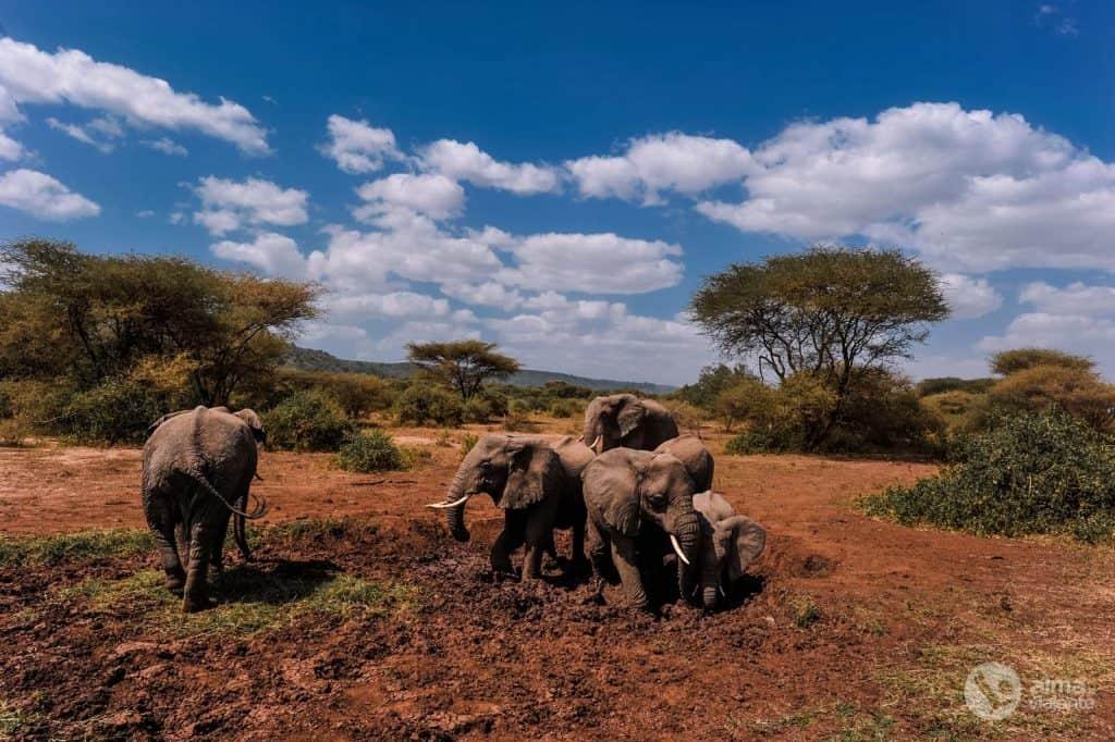 Safari no Lago Manyara: elefantes