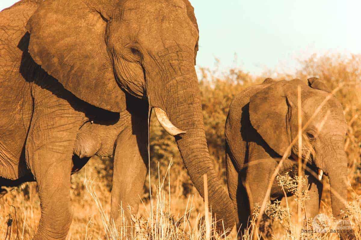 Elefantes em Masai Mara