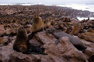 Colónia de leões-marinhos em Cape Cross, Namíbia