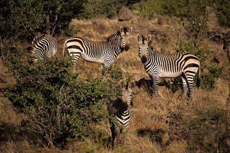 Hópur zebras í Etosha garðinum