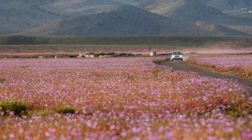 As flores do deserto de Atacama