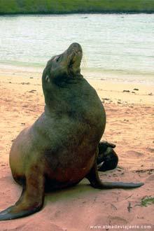 Um leão marinho nas ilhas Galápagos