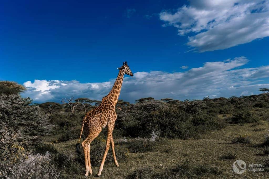 Safari in Tanzania: giraffa