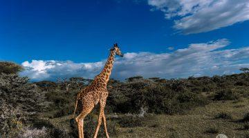 Safari v Tanzánii: žirafa