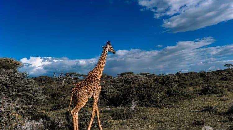 Safari v Tanzaniji: žirafa