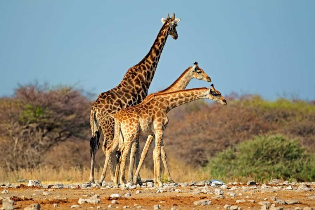 Žirafy v parku Etosha