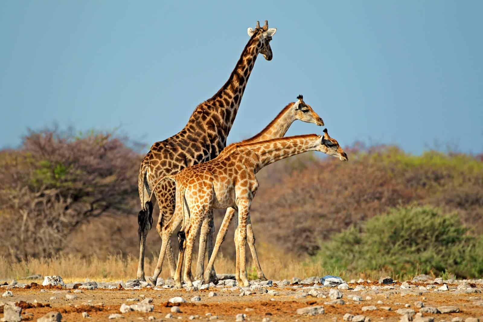 Girafas no parque Etosha