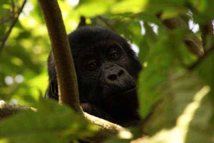 Um gorila bebé em Bwindi