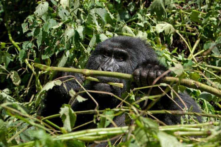 Gorila de montanha alimentando-se no chão