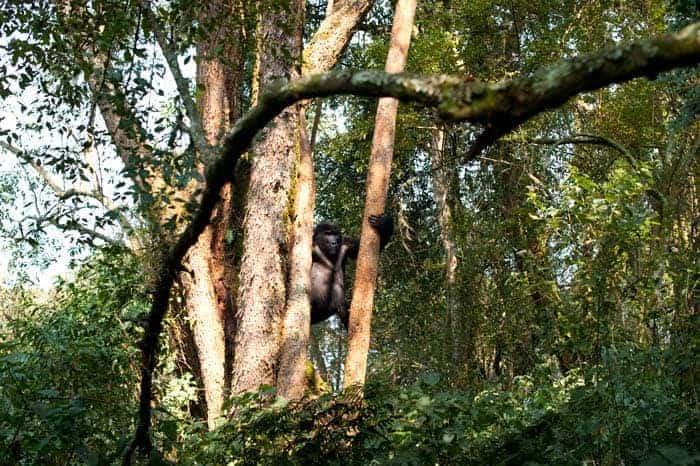 Gorila de montanha alimentando-se nas árvores do Parque Bwindi