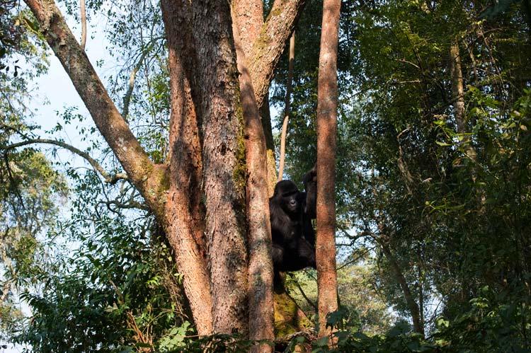 Um gorila de montanha macho