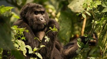 Kalnų gorilos, maitinančios Bwindi