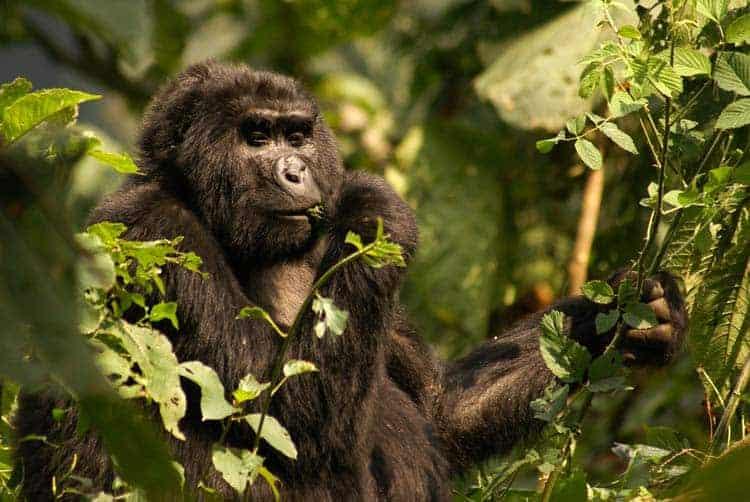 Gorila de montanha alimentando-se em Bwindi