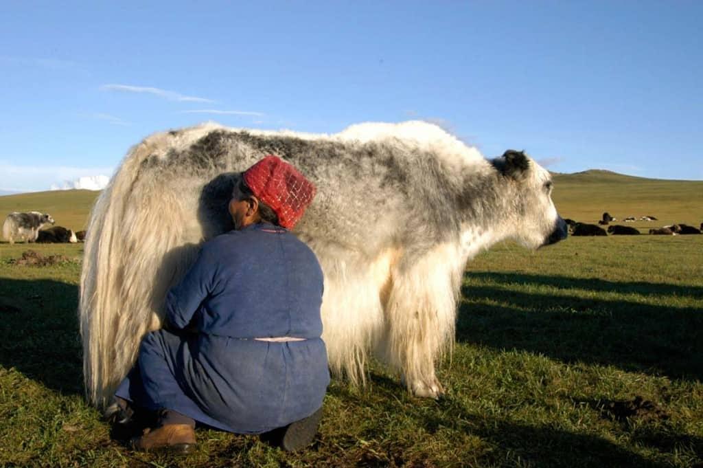 Um iaque em Shine ider, estepes da Mongólia