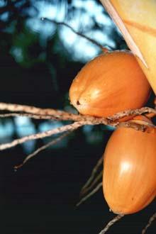 Cocos nas ilhas Maurícias