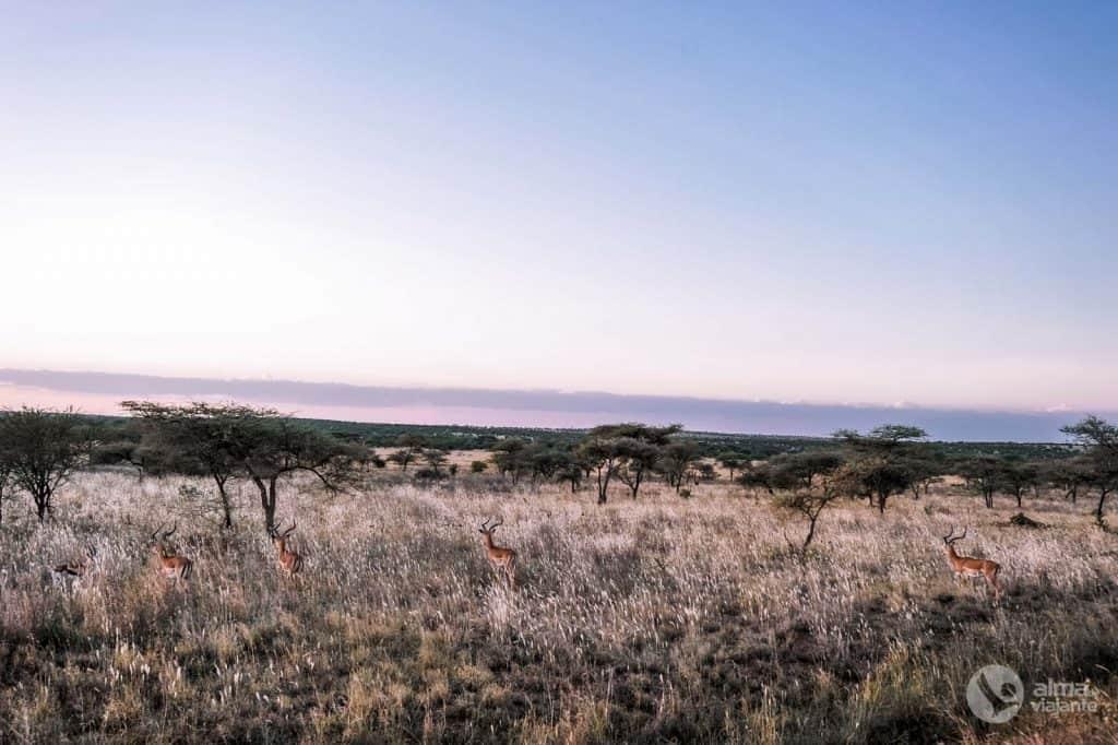 Impalas Serengeti