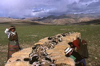 Hora da ordenha no Tibete