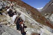 Dzos, Nepal