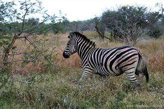 Zebra, outro dos magníficos animais que facilmente se avistam no Kruger Park