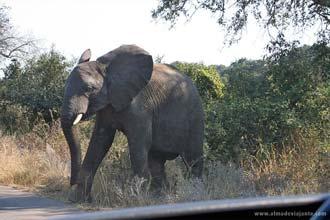 Elefante, um dos big five do Kruger Park, África do Sul