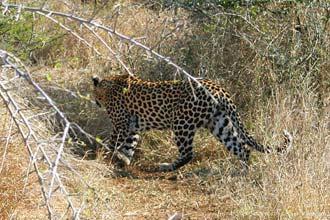 Leopardo no Kruger Park, uma das magníficas espécies que habitam o parque