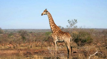 Girafa no Kruger Park