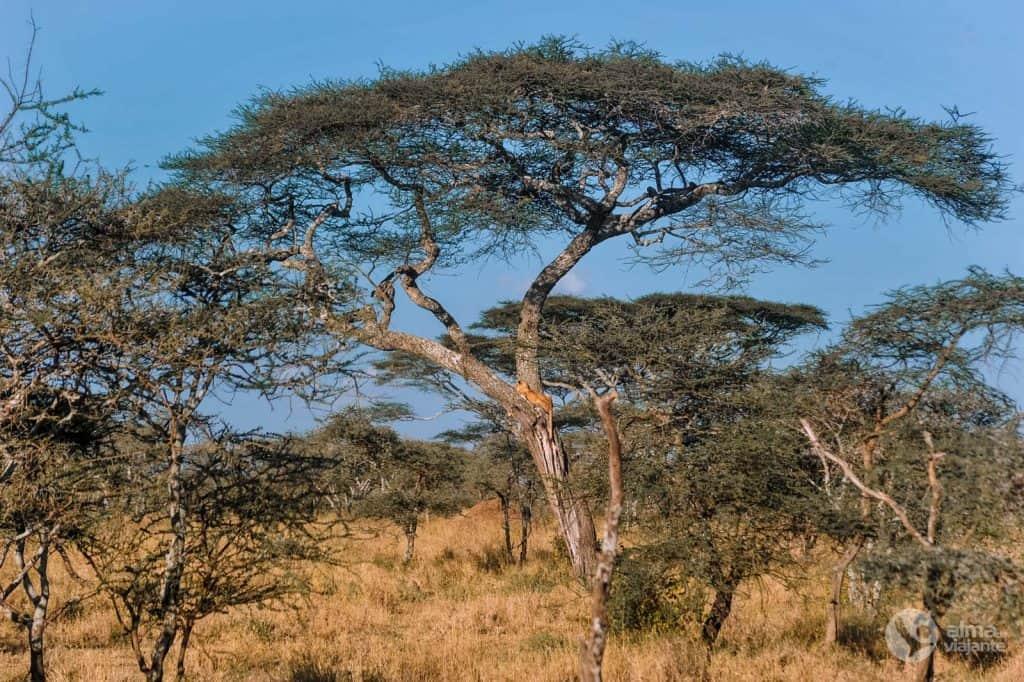 Safari no Serengeti: leão em cima de uma árvore