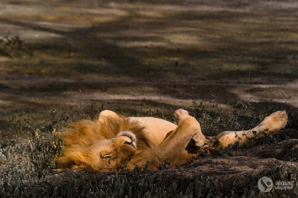 Safari nel Serengeti: leoni